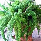 Foxtail Fern Seeds (Asparagus aethiopicus) 10+ Rare Tropical Plant Seeds