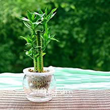 Loss Promotion!6 Kinds Lucky Bamboo Choose Potted Seeds Variety Complete Dracaena Seeds the Budding Rate 95%, 100 Seed