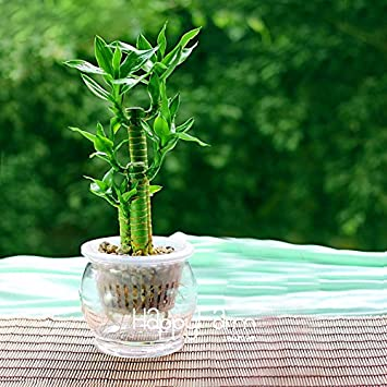 Garden Pots & Planters Bonsai 50pcs Lucky Bamboo Choose Potted Bonsai Variety Complete Dracaena Plant The Budding Rate 95%