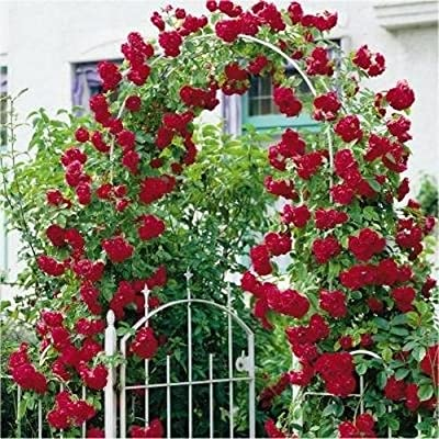 Red Climbing Rose Seeds * Beautiful Fragrant Blooms