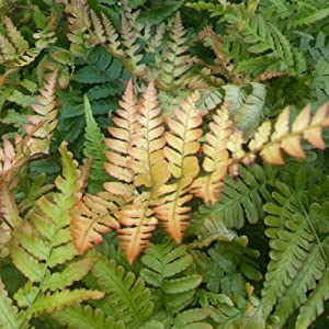 Mixed Plant Collection Of 5 Established Ferns In 9cm Pots   Garden Ferns  Shrub Plant