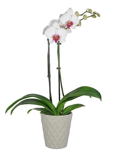 amazon com costa farms live phalaenopsis orchid 27 inch tall