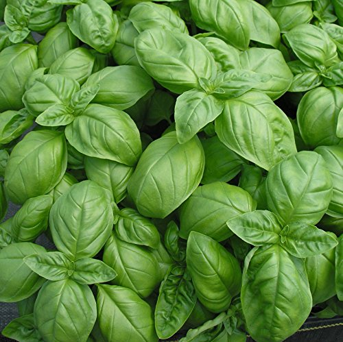 Genovese Basil Seeds * Intensely Scented * Cuisine * 100 Count Pkt. -