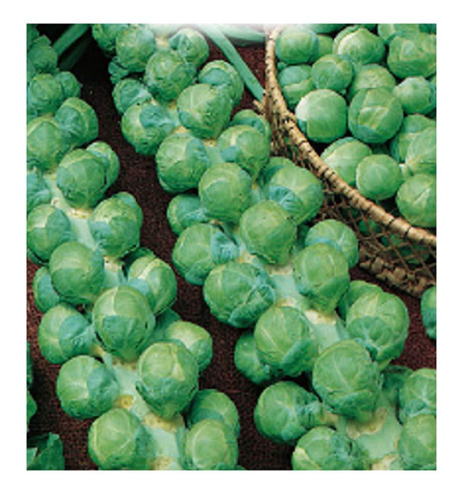 Cavolfiori In Confezione Originale CBRUX Inception Pro Infinite 4000 C.ca Semi Cavolo di Bruxelles Prodotto in Italia Brussel Sprouts