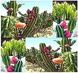 (20) PERUVIAN APPLE CACTUS Seed - Fig Cactus - Cereus repandus Seeds