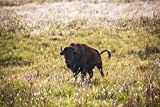 Bison Photography Print - Picture of Buffalo in Sunlit Prairie Grass in Northern Oklahoma Animal Home Decor 5x7 to 30x45