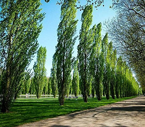 3 Quick Growing Rooted Hybrid Poplar Trees 9-18 In - Shade, Firewood, Windbreak