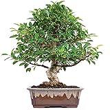 Brussel's Golden Gate Ficus Bonsai - X Large - (Indoor)