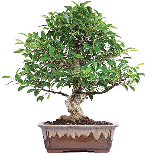Brussel's Golden Gate Ficus Bonsai - X Large - (Indoor) by Brussel's Bonsai