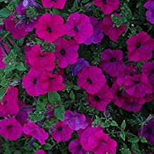 TIDAL WAVE PURPLE Petunia Seeds - Spreading, Dense Cover of Blooms, Fresh Seed (10 seeds)