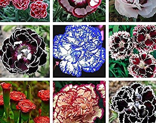 Seeds Market Rare BELLFRAM Mixed 9 types of Dianthus seeds, 200 seeds, professional packaging, Sweet William Flower EZ grow high germination (William Sweet Grow)