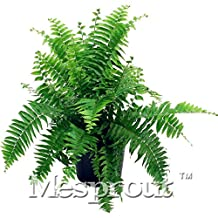 ! 100PCS Japanese Rare Creeper Boston fern seeds, vines, climbing plants, Ornamental Bonsai Seeds