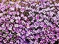 Purple Rockcress Seeds Many Packet Sizes Stunning Violet Flower Rock Cress bin251