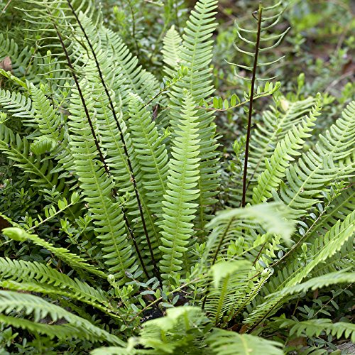 YouGarden Fern Collection