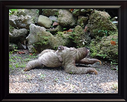 Wesellphotos Sloth On The Ground Wildlife Animal Poster Framed Photo Picture Print - Room Decor Wall Art For Kids Baby Nursery Children (8X10 Framed) -