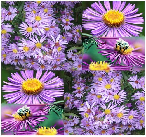 Partial Shade Perennial Flowers - 300 Aster NEW ENGLAND Flower Seeds ~ PERENNIAL ~ SUN & PARTIAL SHADE Zone 3 - 9