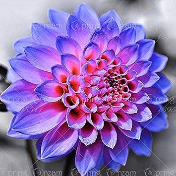 True Dahlia Bulbsdahlia Flowernot Dahlia Seedsbonsai Flower