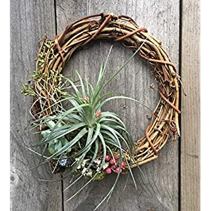 Living Succulent Air Plant Grapevine Wreath- 6 inch 101