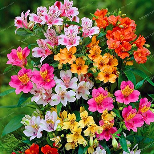 100pcs Alstroemeria seeds Peruvian Lily Alstroemeria Inca Bandit- Princess lily bonsai flower seeds planta for home garden