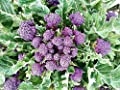 100+ ORGANICALLY GROWN Purple Sprouting Broccoli Seeds Heirloom NON-GMO, Brassica oleracea, Healthy, Delicious, From USA