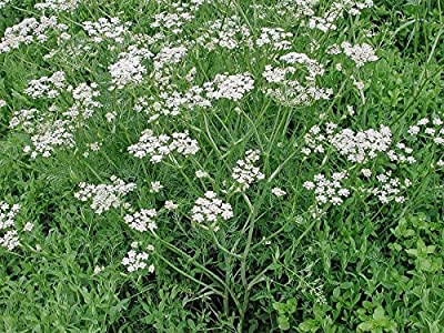 Seeds Cumin Original Organic Russian Heirloom Herb Seed