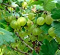 20 Plain Green Gooseberry Seeds