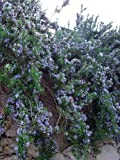 "Cascading Rosemary Plant - Creeping/Trailing - Outstanding for Culinary - 3"" Pot"