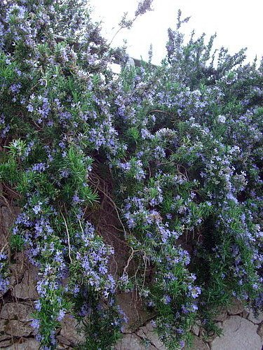 Cascading Rosemary Plant Creeping Outstanding