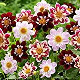 2 Dahlia Collarette Mix Color Flower Bulb Perennial Summer Blooming Short Plant