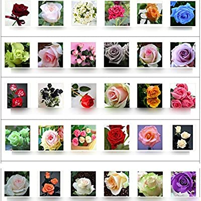 30 kinds Multi-color Total 300 seeds colorful rose flower seeds rare rainbow rose flower seeds Plant Home Garden