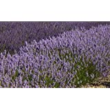 "Findlavender - Lavender French PROVENCE (Blue Flowers) - Very Fragrant - 4"" Size Pot - Zones 5 - 11 - Bee Friendly - Attract Butterfly - Evergreen Plant - 4 Live Plant"