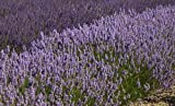 Findlavender - Lavender French PROVENCE (Blue Flowers) - Very Fragrant - 4'' Size Pot - Zones 5 - 11 - Bee Friendly - Attract Butterfly - Evergreen Plant - 18 Live Plant