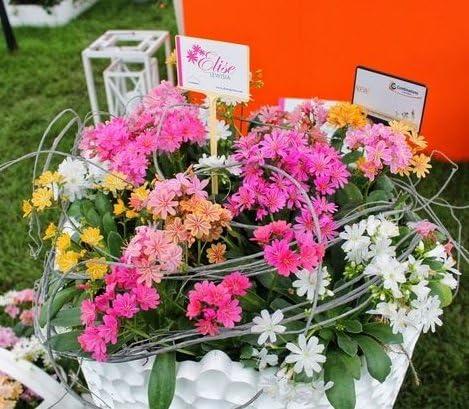 珍しい四季咲き性 宿根草 四季咲きレウイシア エリーゼ花色ミックス 2ポットセット
