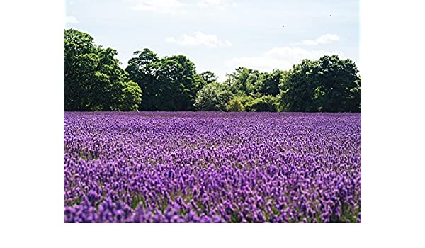385fd31fbf5b Amazon.com  Home Comforts Laminated Poster Blooming Field of Flowers  Lavender Nature Lilac Poster Print 11 x 17  Posters   Prints