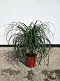 Beaucarnea guatemalensis, Red Ponytail Plant, Guatemala Pony Tail - 3 Gallon Live Plant - 4 pack