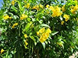 trumpet, or HUMMINGBIRD VINE, yellow FLOWER, 10 seeds