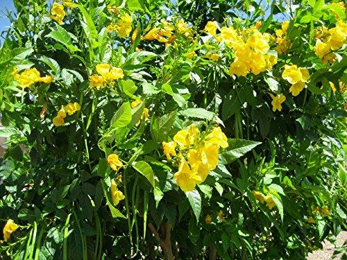 Trumpet or hummingbird vine yellow flower 10 seeds mv green additional information mightylinksfo