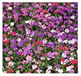 shade perennials zone 7 Moss Verbena - Ground Cover - Mixed Colors for Zones 6-10 - 3300 Seeds