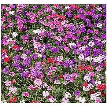 10 pcs Helianthemum Collection Rock Rose mixed flower seeds