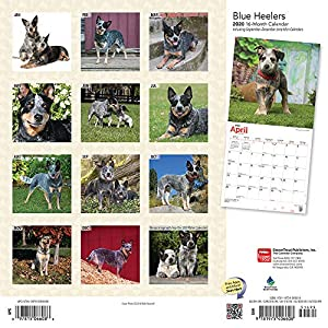 Blue Heelers 2020 12 x 12 Inch Monthly Square Wall Calendar, Animals Dog Breeds 17