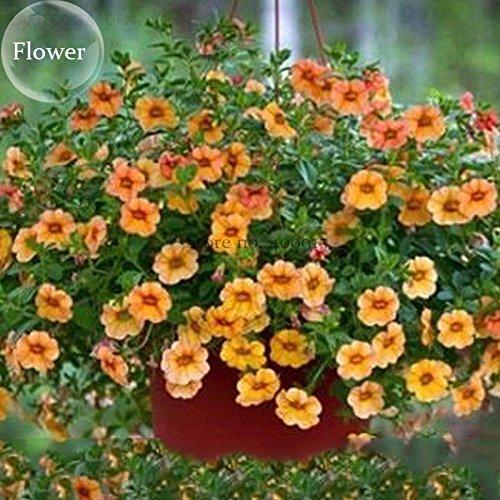 2018 Hot Sale!! Hanging Orange Morning Glory Flower, 50 Seeds, Very Beautiful Garden Plants E3810