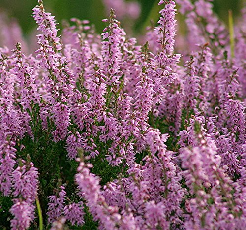 Scotch Honey (100 Scotch TRUE HEATHER Shrub Scot's Purple Pink Flower Calluna Vulgaris Seeds)