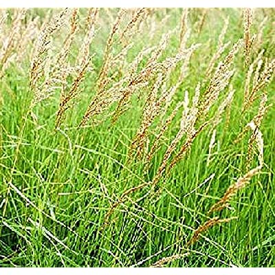 Ornamental Grass Seed - Calamagrostis Canadensis Seeds : Garden & Outdoor