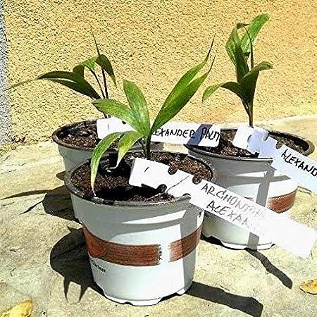 Portal Cool Archontophoenix Alexandrae - Rey de Palm - Bungalow de ...