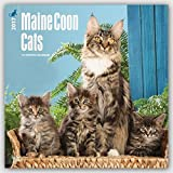 Maine Coon Cats - 2017 Calendar 12 x 12in