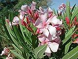 50 Nerium Oleander pink seeds / evergreen / excellent grower / 50+ Seeds