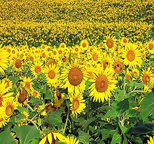 (5 LB (45,000+ Seeds) PEREDOVIK Sunflower Seeds - Game Birds & Deer Favorite - Rich in Oil A+ for PLOT FOOD WILDLIFE - Non-GMO Seeds By MySeeds.Co (5 LB Peredovik Sunflower))