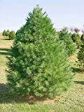 50 Eastern White Pine Tree Seeds, Pinus Strobus, Lake States