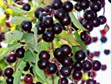 10seeds CHOKE CHERRY TREE VIKING ARONIA MELANOCARPA SEEDLINGS PLANTS
