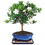 Brussel's Live Gardenia Outdoor Bonsai Tree - 7 Years Old; 8'' to 10'' Tall with Decorative Container, Humidity Tray & Deco Rock